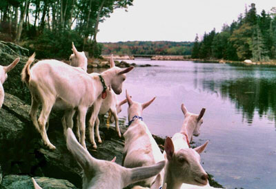 Goats by the water at Sunset Acres Farm